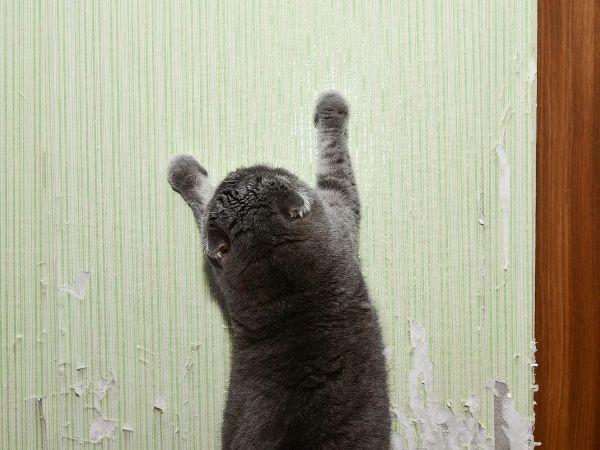 Katze kratzt an der Tapete