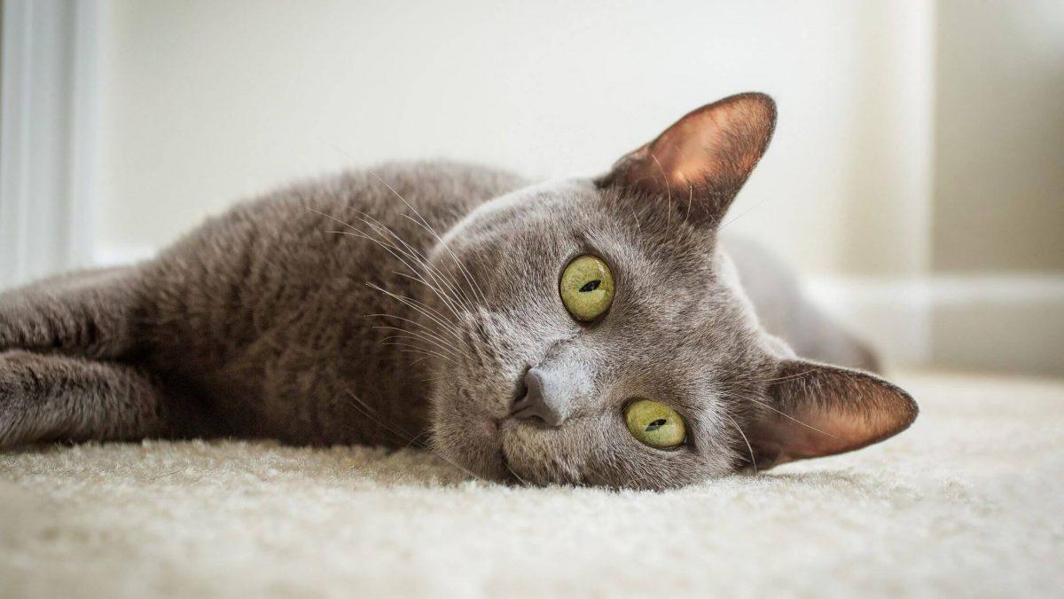 welche katzen haaren nicht